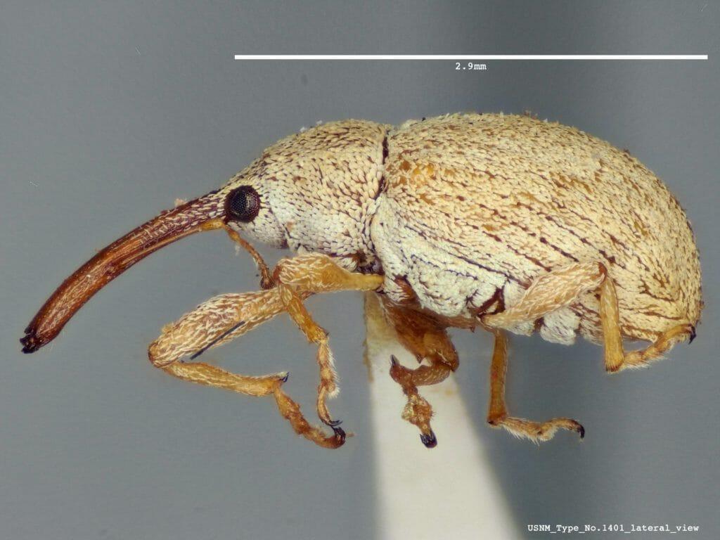 Brown bugs - Weevils